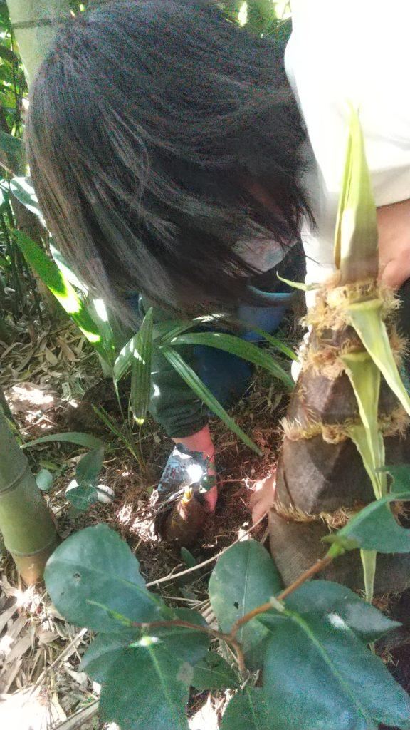 みちくさの竹やぶでたけのこ掘り