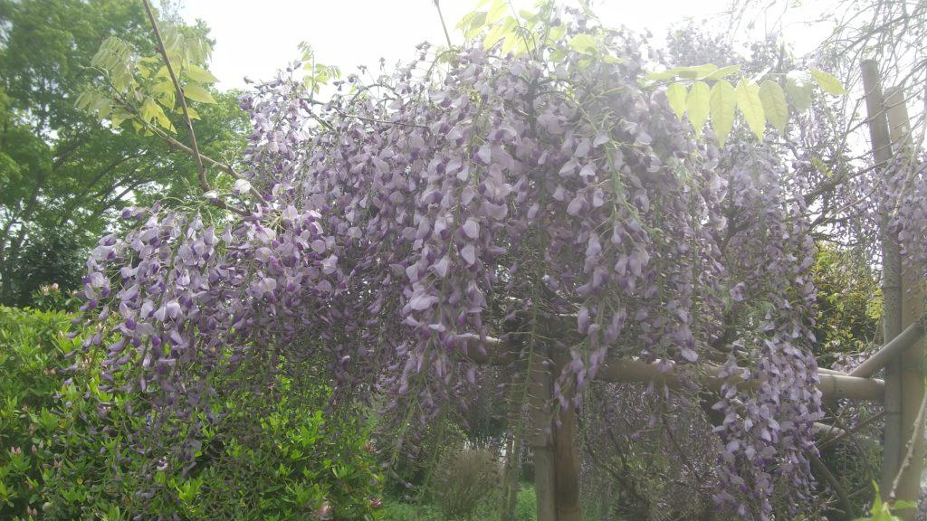 みちくさの庭 藤の花